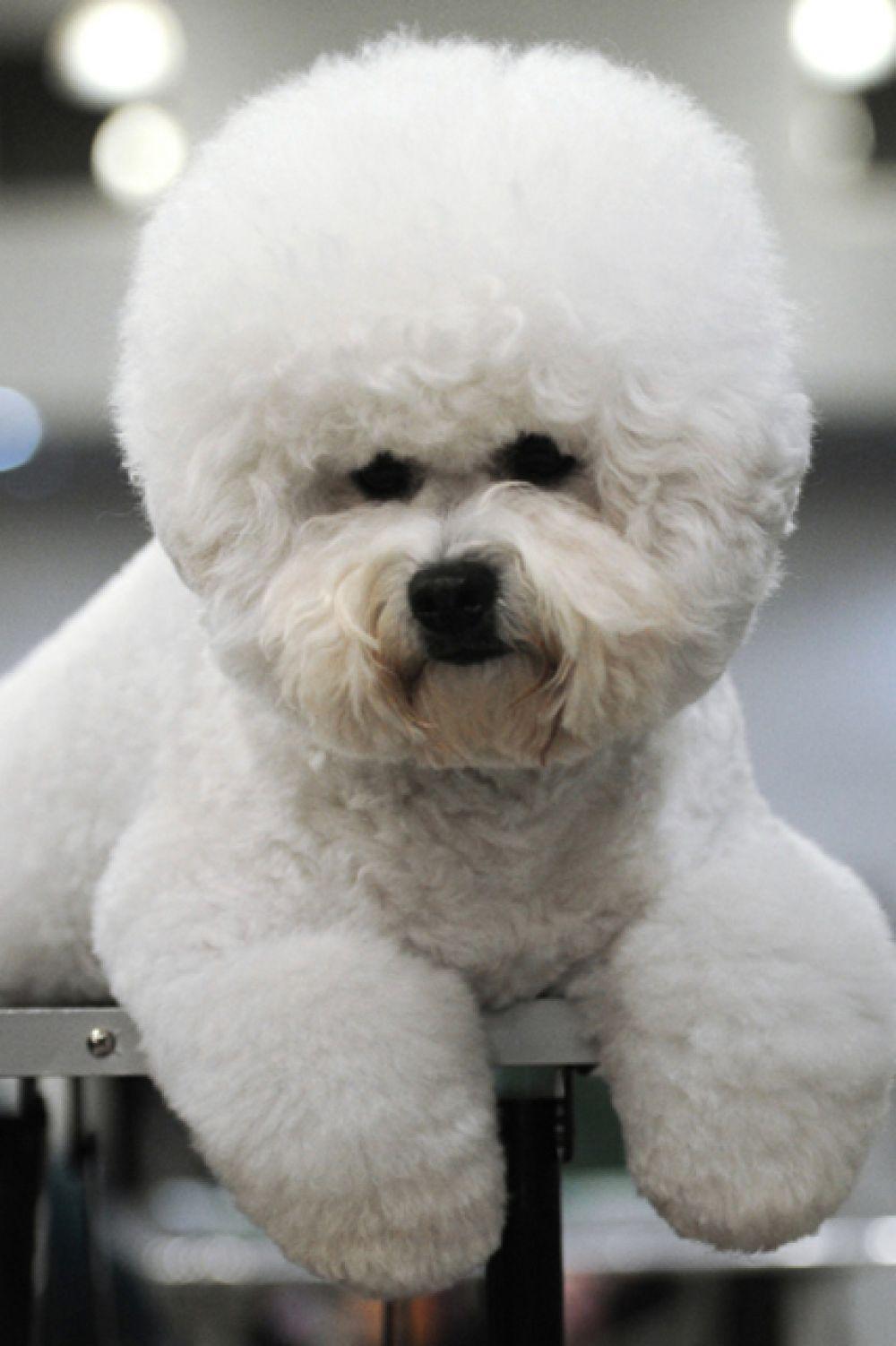 В декабре также состоялось шоу чемпионов российской кинологической федерации «Золотой ошейник 2013». На фото: собака породы бишон фризе.