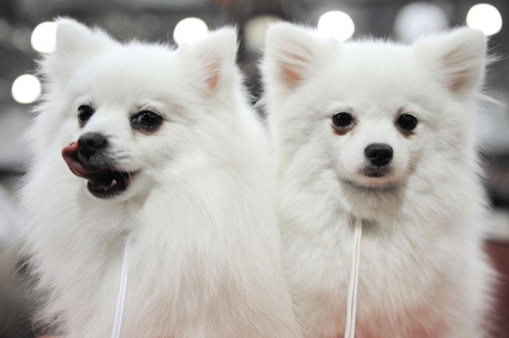 Собаки породы белый малый немецкий шпиц на шоу чемпионов российской кинологической федерации.