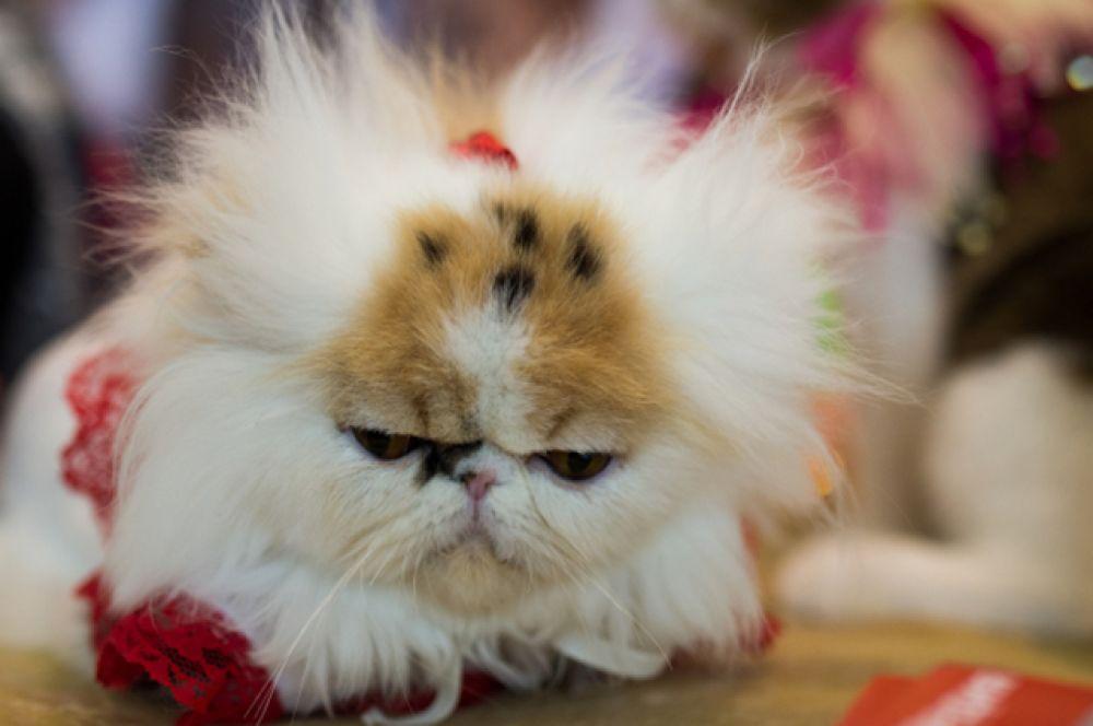 Уникальным отличием выставки «ИнфоКот» является то, что на ней кошки распределены по породам, и каждый стенд был оформлен в соответствии с историей и происхождением того или иного вида кошек.