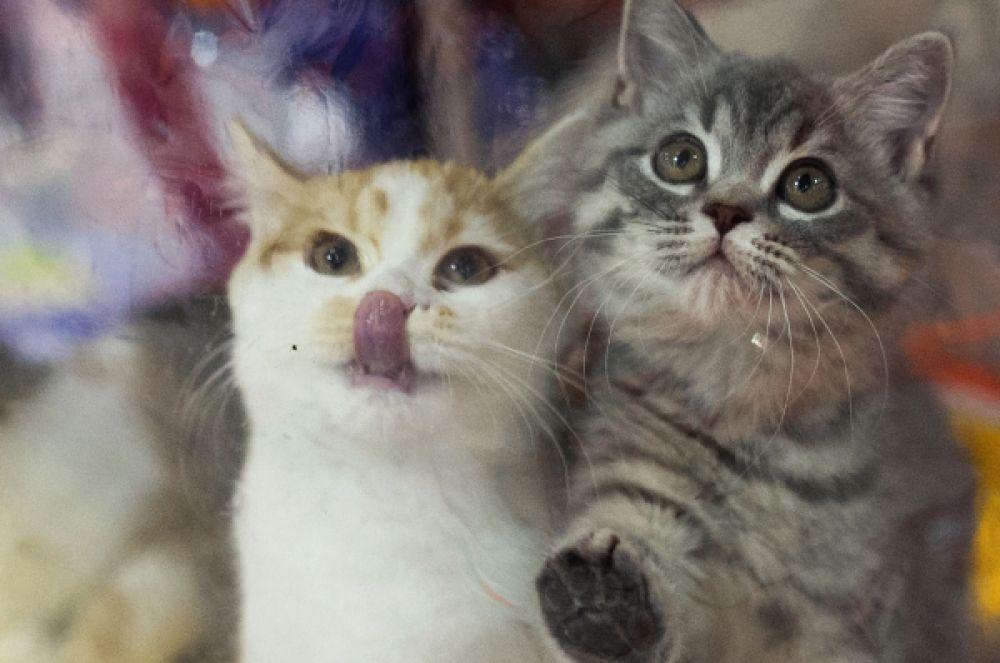 Одним из главных событий в индустрии выставок домашних животных стал фестиваль «Экспокот» в «Крокус-Экспо», где были представлены самые распространённые породы кошек.