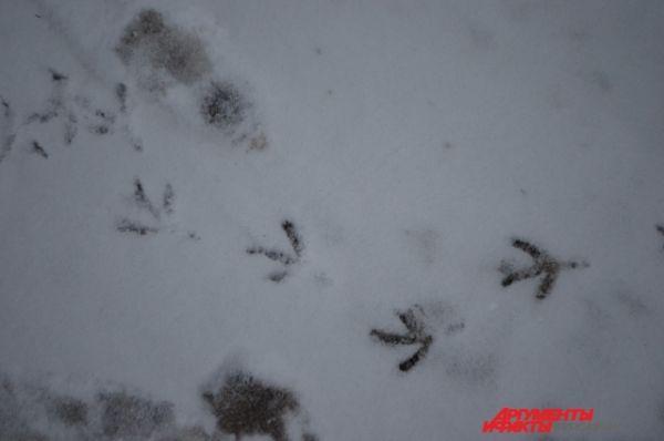 Прогулки голубей по свежевыпавшему снегу.