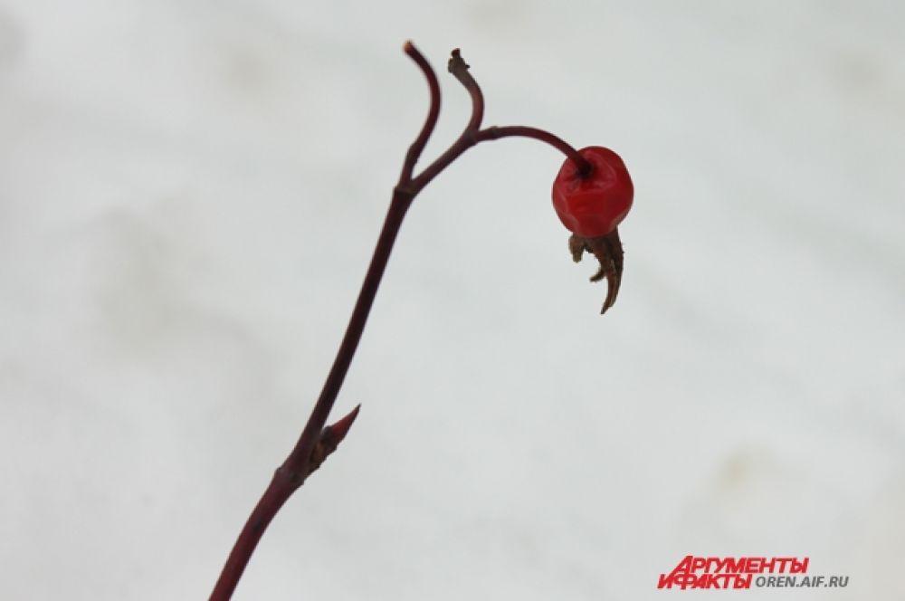 К середине зимы ягод почти не осталось.