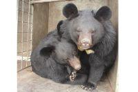 Гималайские медвежата.
