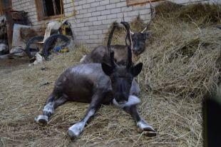 Потерявшегося в Челябинске северного оленя загрызли собаки