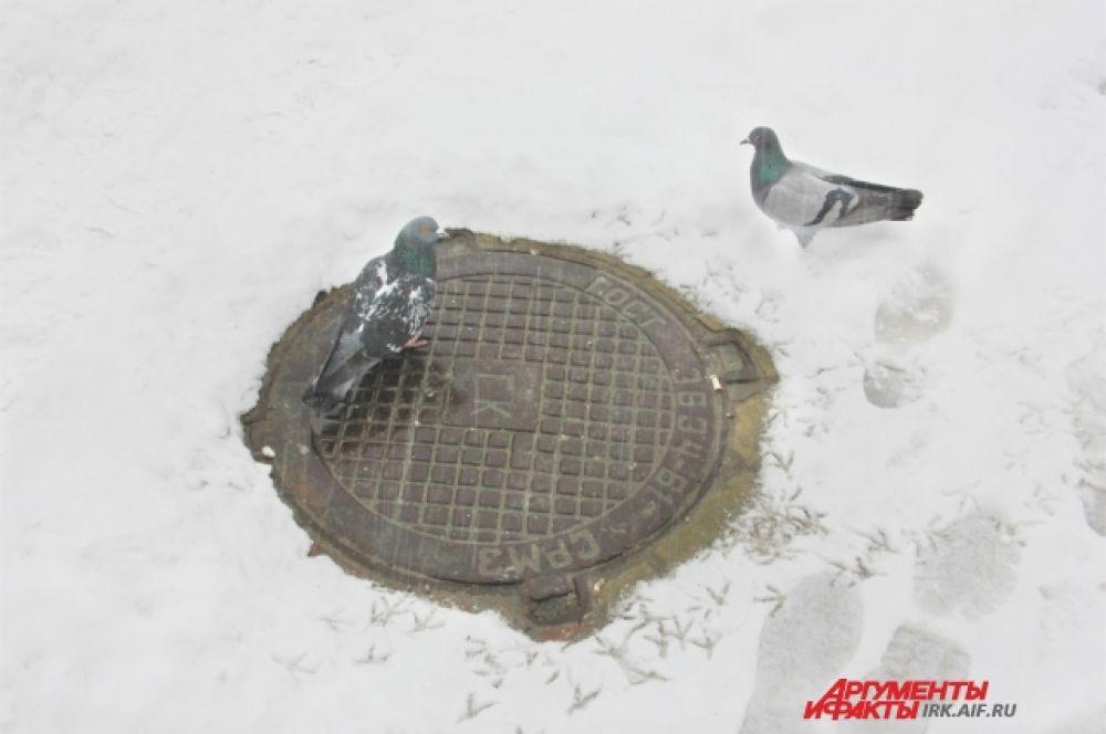 А у голубей весна и пора ухаживаний. Еще бы, на улице всего -7!