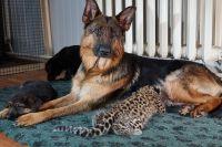 Немецкая овчарка Пайпер в окружении щенят и леопарда
