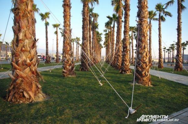 Недавно высаженные пальмы