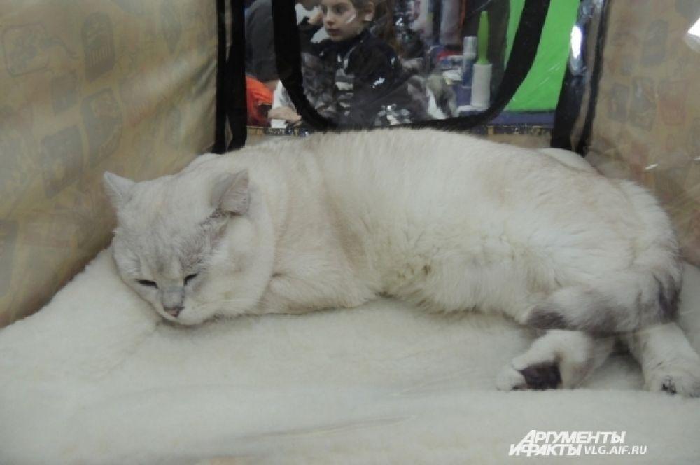 Окрасы шотландских кошек очень разнообразны. От однотонных до рисунчатых.