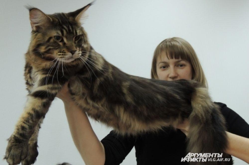 Средний вес кота породы мей-кун от 6 до 8 килограммов.