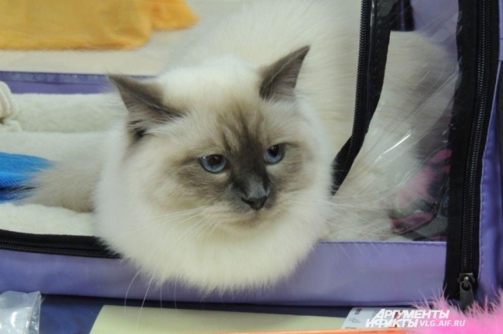 На выставке оценивается не только внешний вид кошки, но и ее поведение.