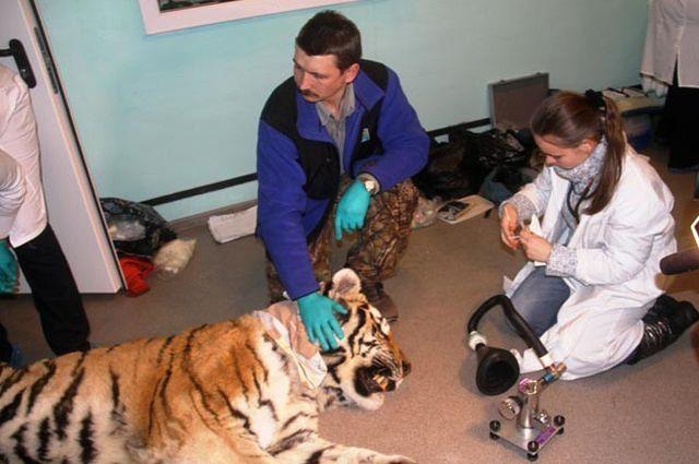 Раненый тигр.