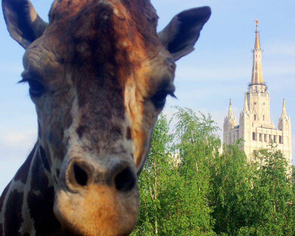 Главной достопримечательностью и «живым талисманом» Московского зоопарка является 20-летний жираф Самсон. Его рост достигает пяти метров.