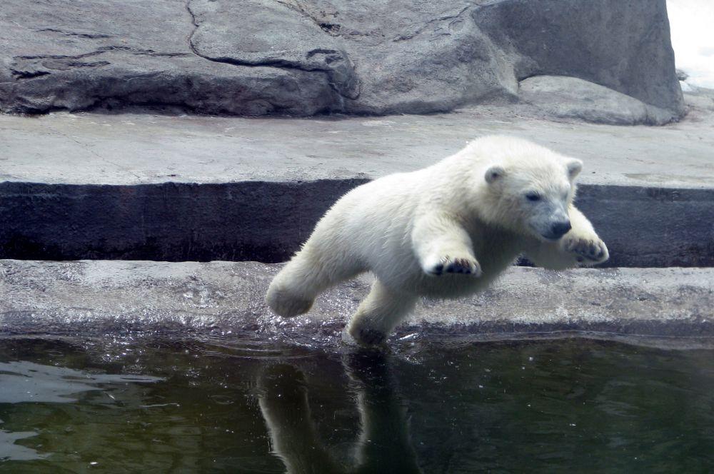 В вольерах Московского зоопарка можно встретить и белых медведей. Они тоже размножаются прямо на территории, а потому посетители часто наблюдают «выступления» медвежат.
