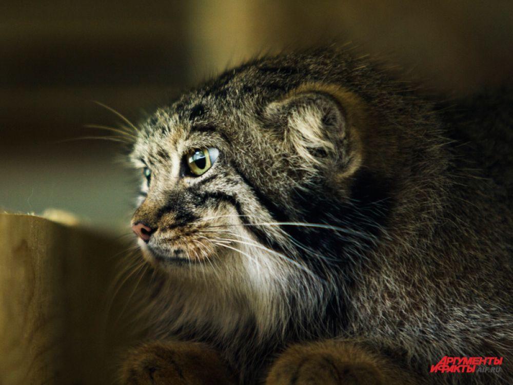 Первые манулы появились здесь ещё в 1940-х годах, с тех пор они постоянно содержатся на территории зоопарка. Размножение манулов началось в 1975 году – к настоящему моменту в Московском зоопарке родилось уже более 140 детёнышей.