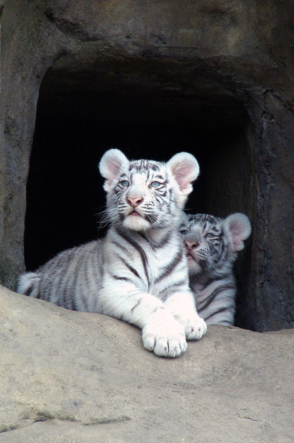 В экспозиции Московского зоопарка среди прочих представлены бенгальские тигры. Они размножаются в вольерах, а потому посетители регулярно имеют возможность увидеть маленьких тигрят.