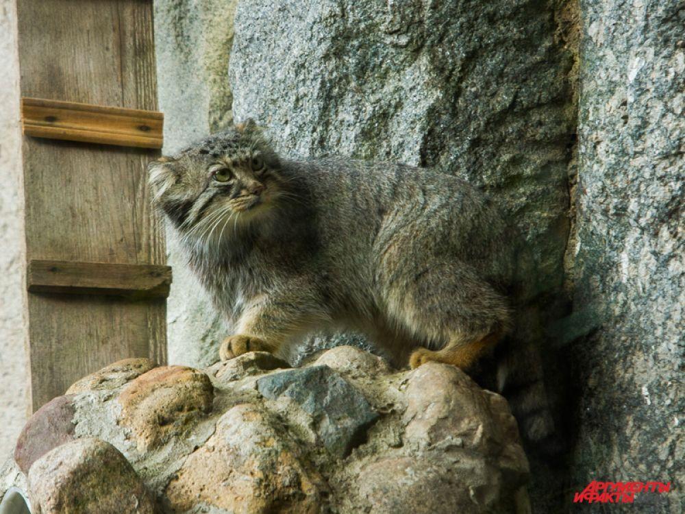 Большой популярностью в Московском зоопарке пользуются манулы. Разводить в неволе этих диких кошек очень трудно, однако в трёх зоопарках, в том числе Московском, это удалось.