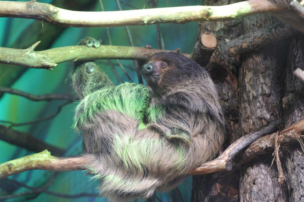 Большой популярностью среди посетителей также пользуются ленивцы, которые содержатся в одном вольере с броненосцами.