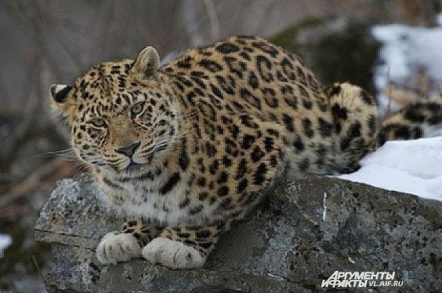 Леопард в естественной среде.