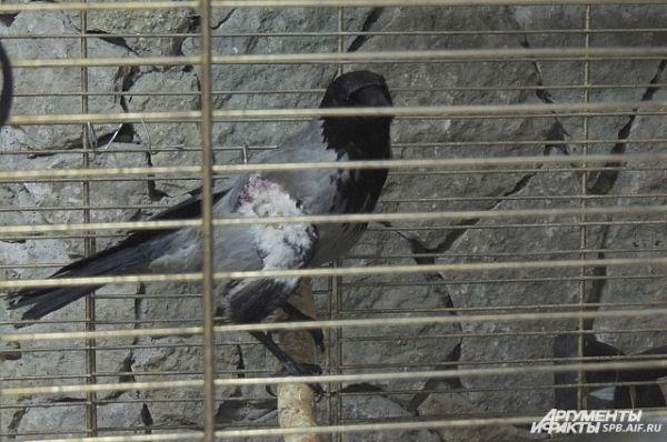 У этой вороны сломано крыло.