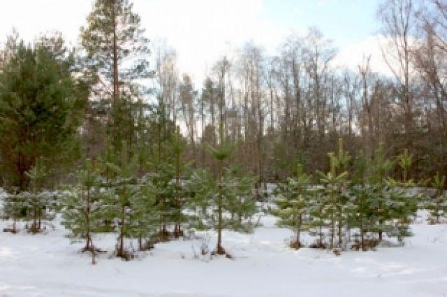 Незаконно вырубленные деревья должны были компенсировать высадкой новых.
