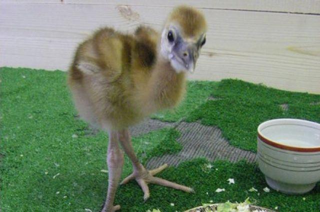 Венценосные журавли в зоопарке Екатеринбурга впервые обзавелись потомством