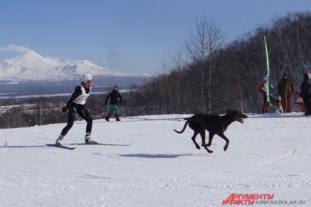 Иногда собака тянет спортсмена к финишу.