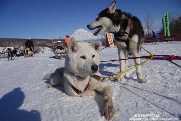 Эта гонка стала для собаки Лаймы последней: она выходит на собачью «пенсию».
