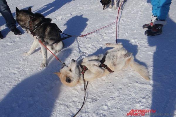 Собаки устали.