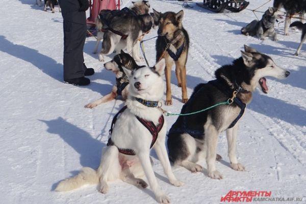Собаки терпеливо ждут начала.