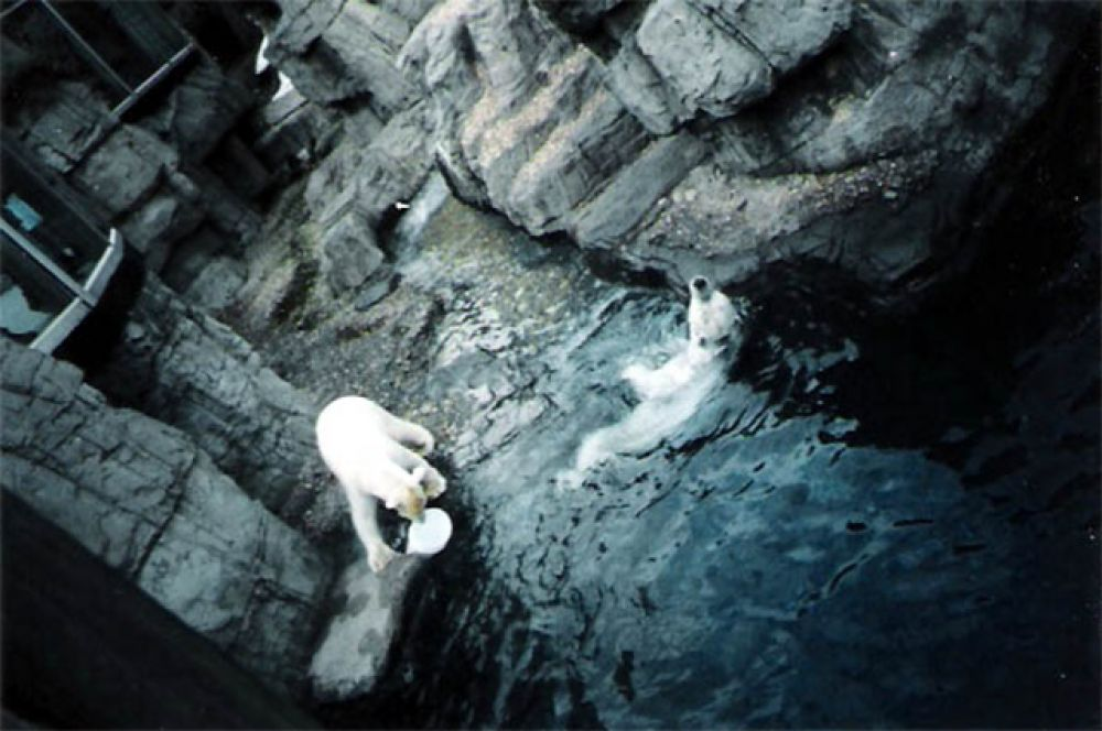 Медведь Гус (слева), ставший звездой зоосада Центрального Парка Нью-Йорка, в 90-х годах был завсегдатаем местных газет. Дело в том, что 320-килограммовый медведь, одержимо плавал в бассейне по 12 часов в день. Его называли «невротиком» и «депрессивным медведем», после чего начали лечить прозаком. Лечение прошло удачно – Гус умер в возрасте 27 лет, прожив значительно дольше среднего.