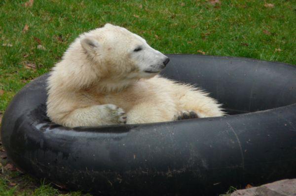 Медведица Флокке, родившаяся в декабре 2007 года в зоопарке Нюрнберга, также является одной из наиболее известных представительниц своего вида. Она была одной из первых медведей, выращенных сотрудниками зоопарка и ставших затем местной сенсацией.