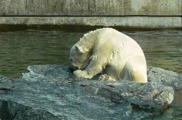 Ещё одним знаменитым белым медведем является Вилбер. Он родился в декабре 2007 года, а уже в апреле 2008 плавал вместе с мамой в зоопарке Штуттгарта. Сегодня Вилбер является одной из достопримечательностей своего зоопарка.
