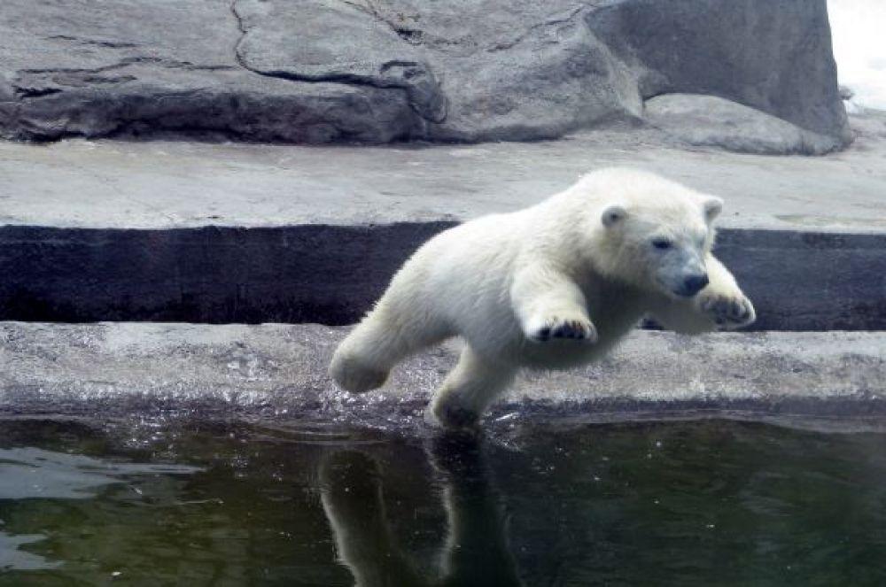 Встретить полярных медведей можно и в Московском зоопарке. Они размножаются прямо на территории, а потому здесь всегда большая популяция, в которой можно встретить и маленьких медвежат.