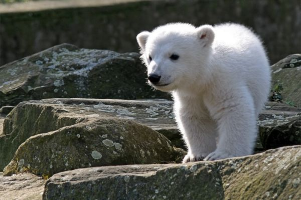 В 2006 году в Берлинском зоопарке родился один самый известный полярный медведь – Кнут. Мать отвергла детёныша, и он был выращен сотрудниками зоопарка, для которого это был первый представитель вида, родившийся за 30 лет.