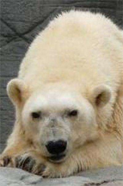 Медведица Дебби была самой старой среди полярных медведей – в 2008 году она была занесена в Книгу рекордов Гиннесса. Она родилась в Советской части Арктики в 1966 году и умерла в возрасте 42 лет в 2008-м.