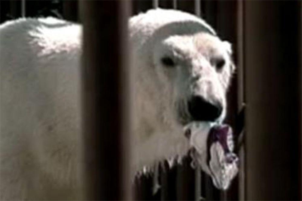 Одним из самых известных полярных медведей в мире был Бинки, живший в зоопарке в Анкорадже. Его обнаружили в 1975 году сиротой на просторах Аляски и привезли в зоопарк, служащие которого выходили медведя. Бинки стал местным героем, попал в международные новости и стал одним из самых популярных животных зоопарка. Он скончался в 1995 году от саркоцистоза.