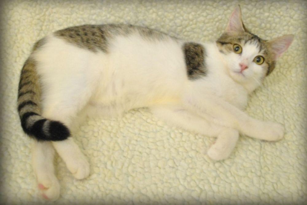 Беляночка попала в приют еще котенком. Очень веселая и милая девочка, которая легко уживается с другими животными. Куратор  Ева: 8-927-069-32-73.
