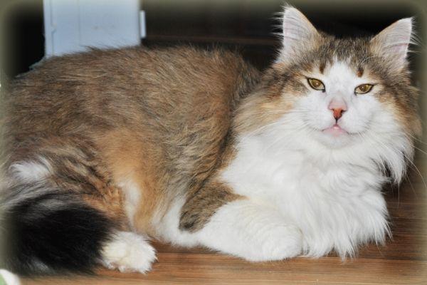 Гоша – настоящий кот-богатырь. 7 кг живого веса!  Пушистый, мягкий, ласковый и нежный, в меру игрив и по-царски вальяжен. Куратор  Ева: 8-927-069-32-73.