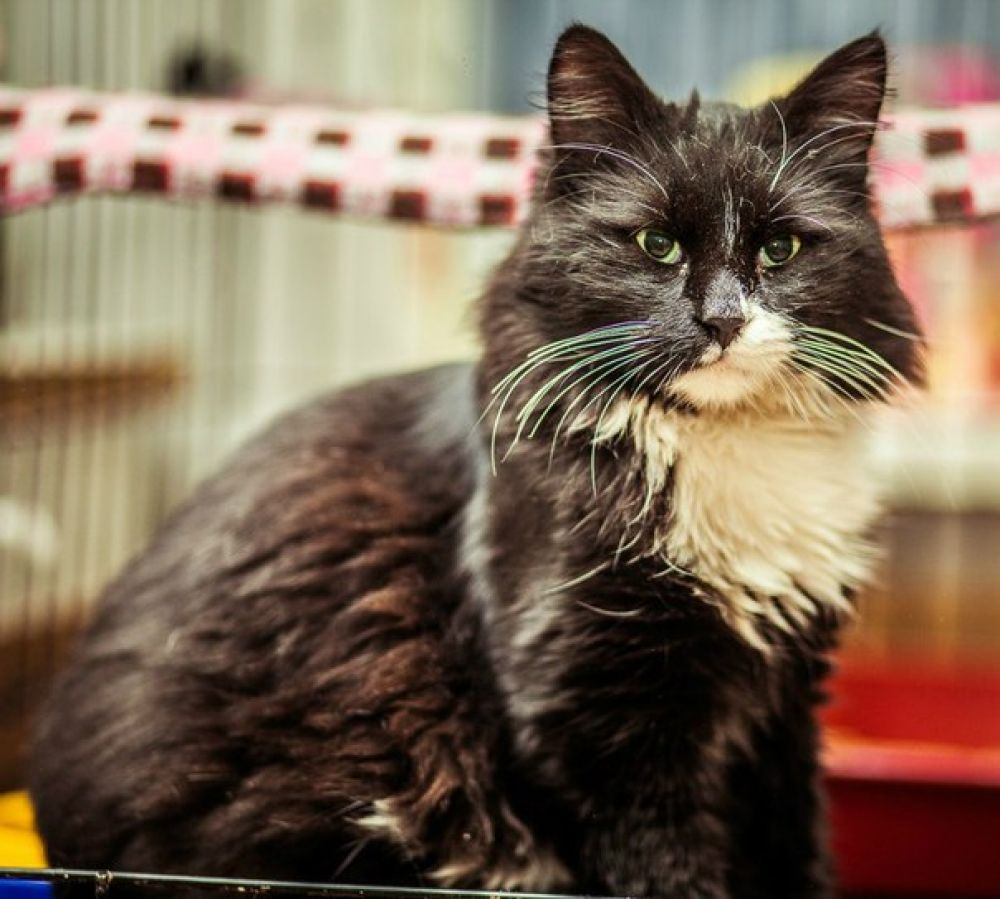 Штрудель. Потрясающий, великолепный, роскошный! Супер-ласковый, мурчащий и общительный кот! Куратор Ольга, т. 8-928-125-47-95