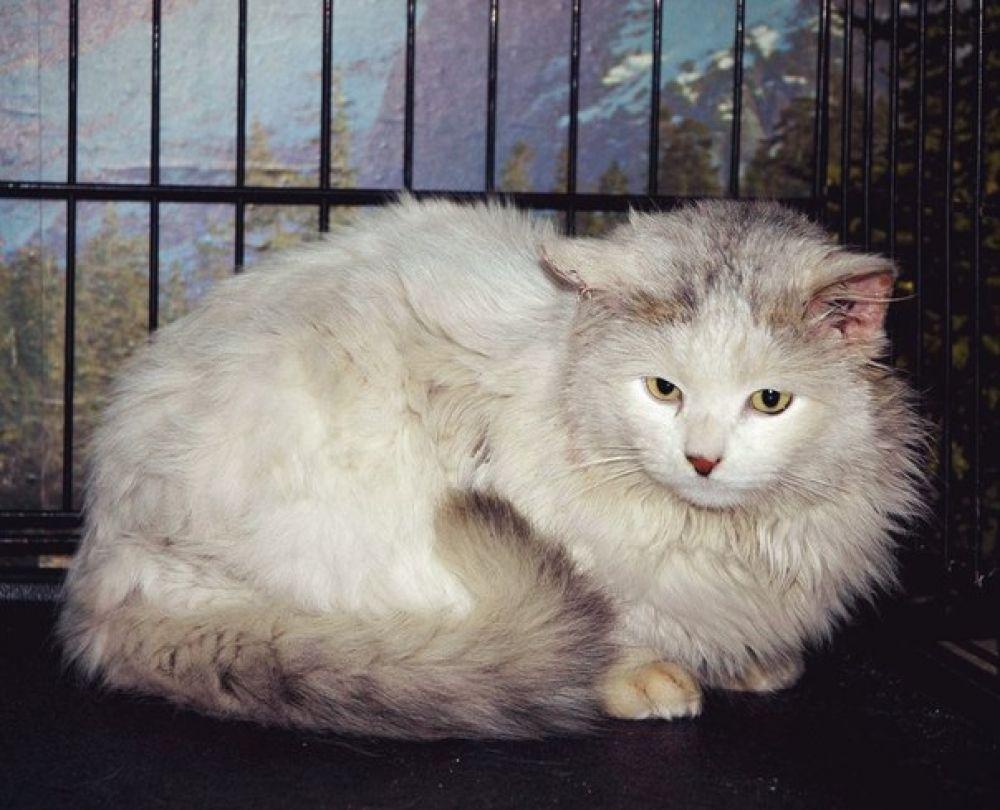 Арамис Красив, спокоен, благороден, и помурчать любит, и пообщаться, к лотку приучен. У кота иммунодефицит: пристраивается только в квартиру без других кошек.