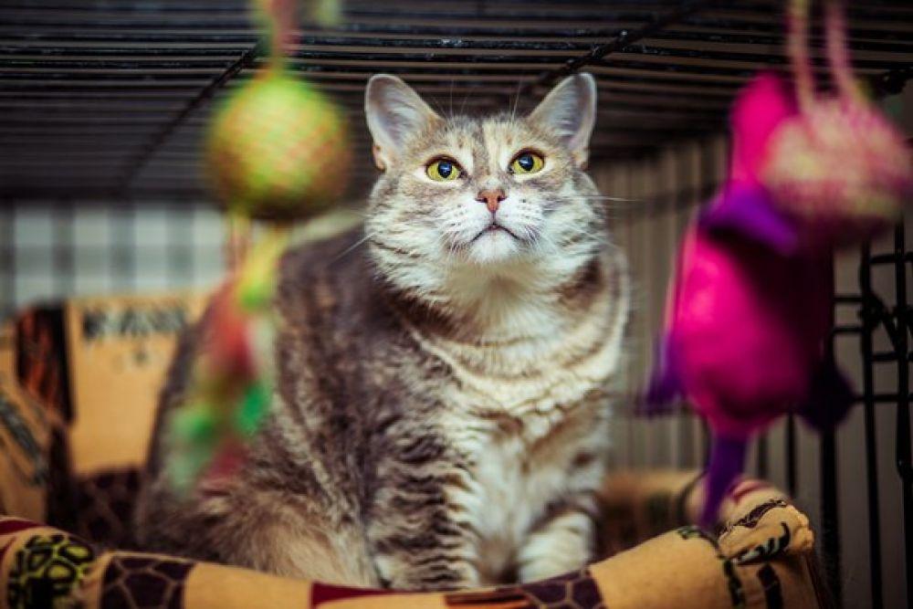 Аврора. Около 1,5 лет. Ласковая кошка. Куратор Лариса, тел. 8-918-505-99-80