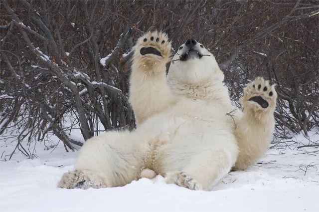 Сегодня отмечается День полярного медведя