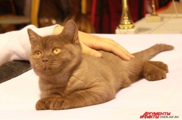 Британский котенок преисполнен величия за свою породу.