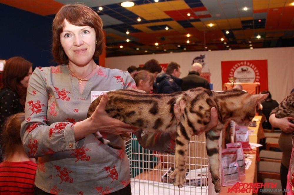 Бенгальский котенок по окрасу похож на леопарда.
