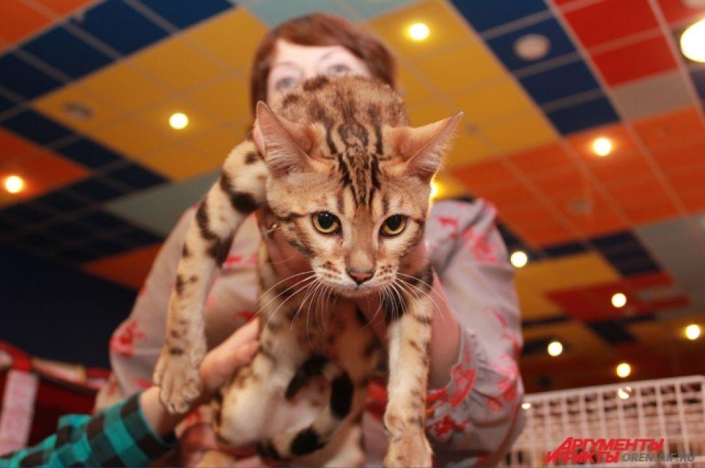 Бенгальская кошка не любит сидеть на руках.