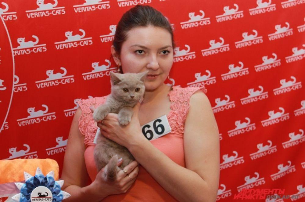 Маленький победитель среди котят британской породы.