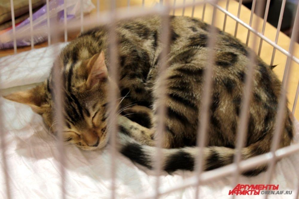 Леопардовая кошка тоже спит, свернувшись клубочком.
