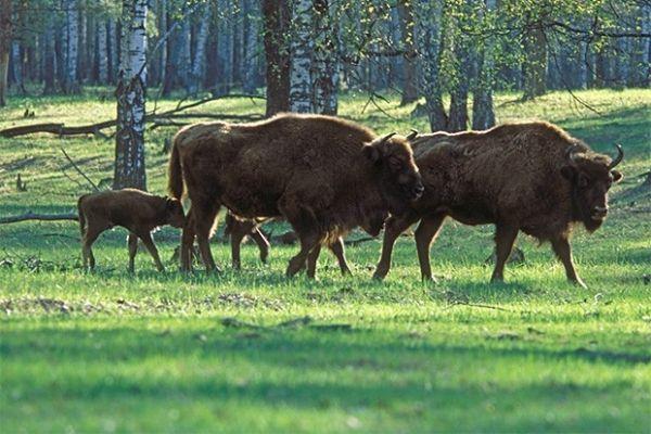 Зубр, близкий к американскому бизону, распространённый в Центральной и Восточной Европе признан исчезающим в данный момент - сейчас на Земле остаётся менее трёх тысяч особей.