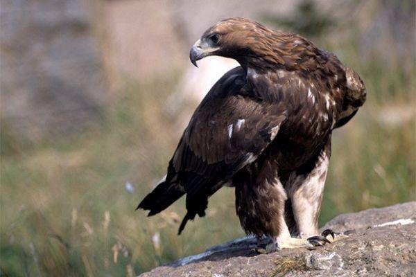 Беркуты являются одними из самых известных хищных птиц семейства ястребиных. Они распространены в северном полушарии и обитают преимущественно в горах.
