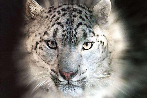 Снежный барс, или Ирбис, крупное хищное млекопитающее из семейства кошачьих, внесён не только в Красную книгу России, но также в Красную книгу МСОП и охранные документы других стран. Охота на этих животных полностью запрещена.